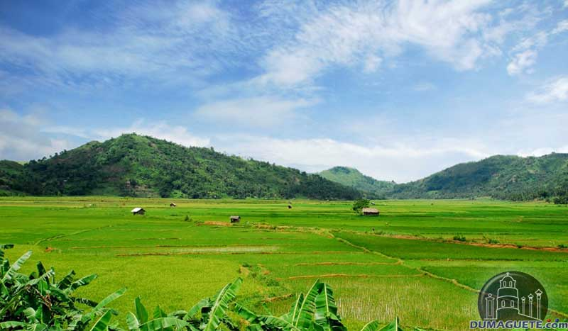 Ayungon Ricefields