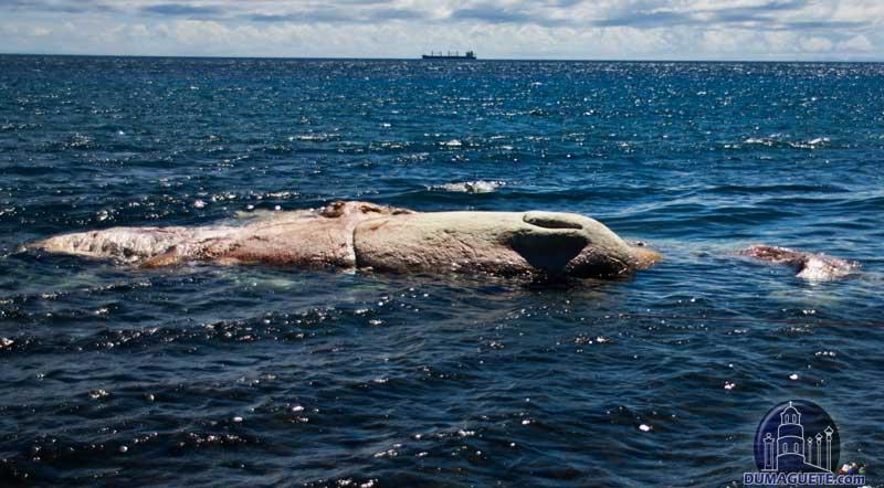 Dead Whale in Dumaguete Dauin facing apo island