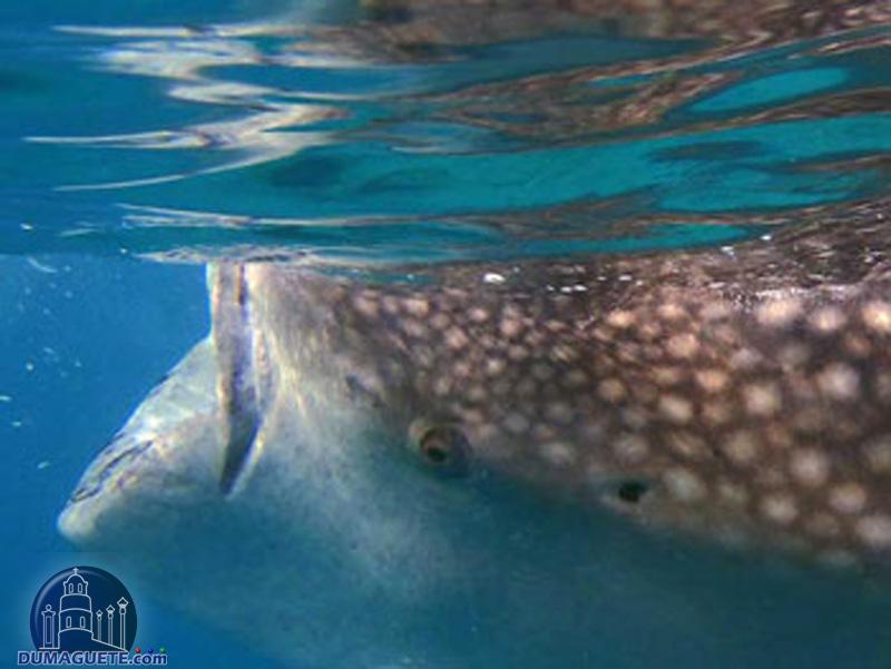 Oslob Whale-Shark Watching