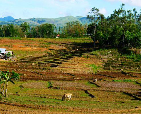 Tayasan Negros Oriental rice-field