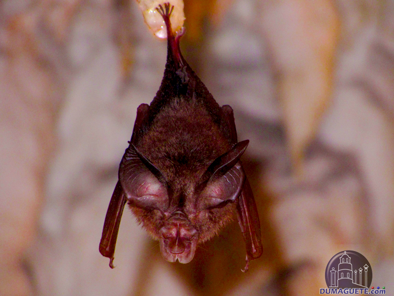 Bat at Crystal Cave Mabinay Negros Oriental