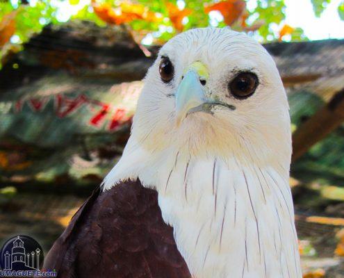 Amlam Zoo Philippine Eagle