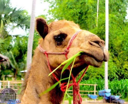 Amlan Zoo - Camel
