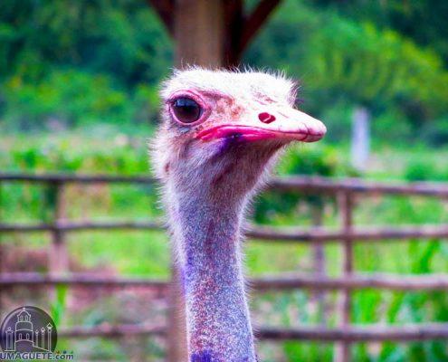 Amlan Zoo - Ostrich