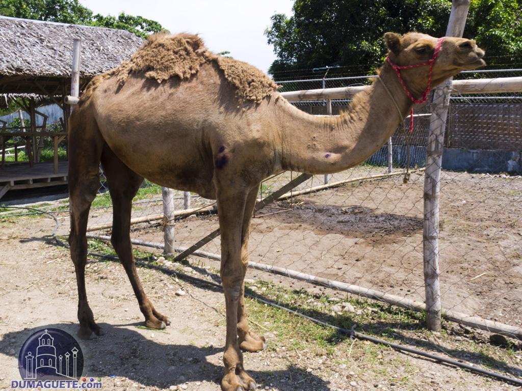 Camel at amlan zoo amlan dumaguete - Camel dive hotel ...