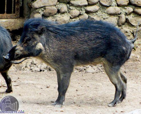 Wild Pork