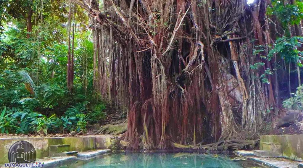 Century Old Balete Tree Siquijor Island