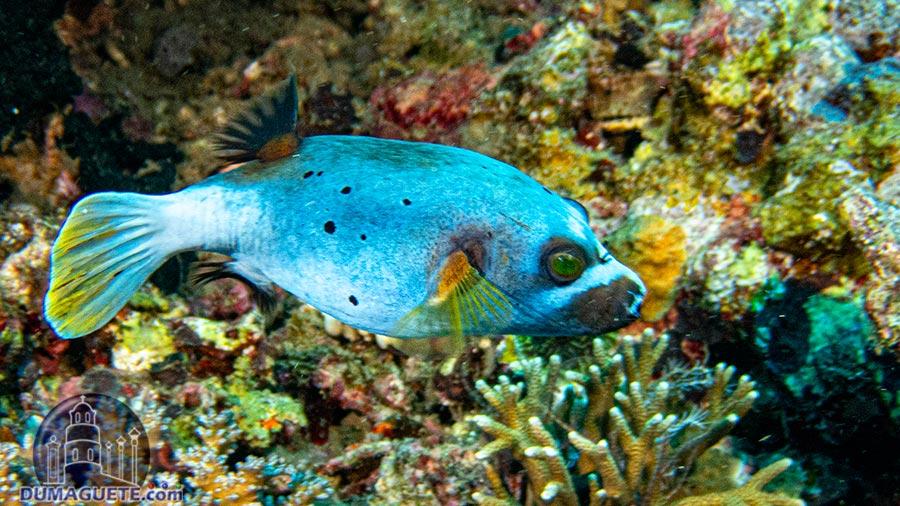 Basak North & South - Pufferfish